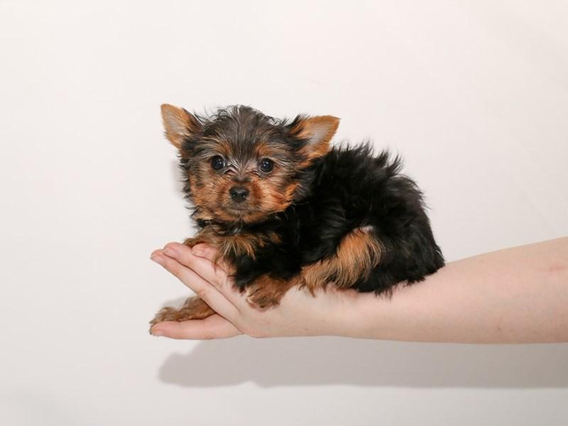Yorkshire Terrier – Crêpe