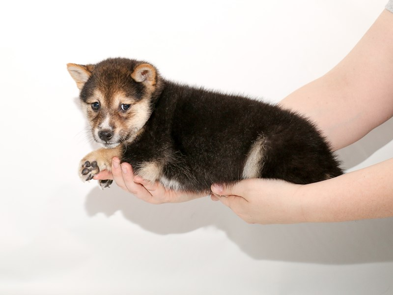 Shiba Inu-Male-Black / Tan-3005559-My Next Puppy