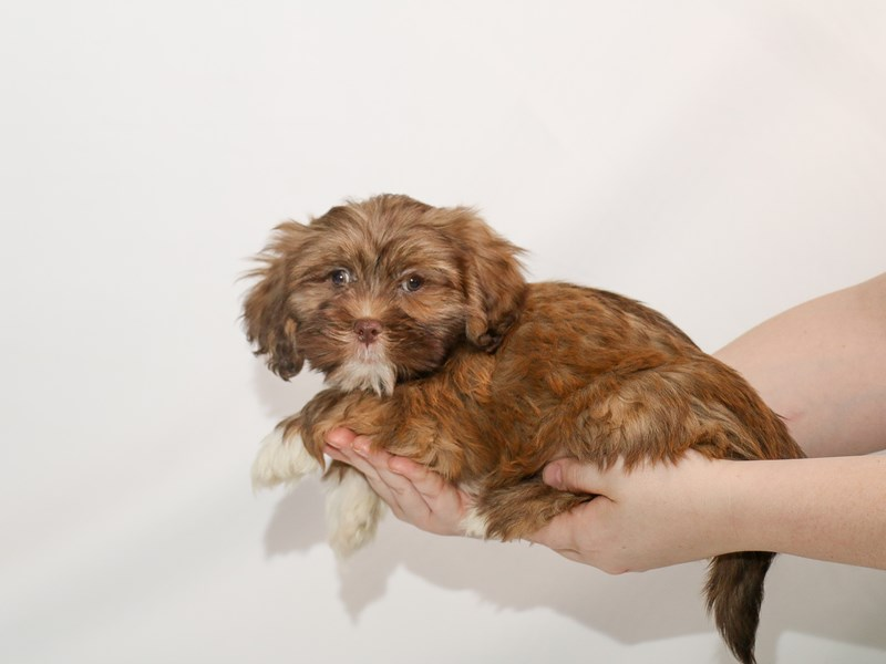 Lhasa Apso-Male-Liver-3005847-My Next Puppy