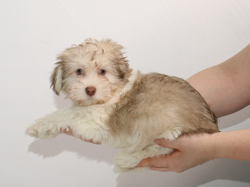 Havanese-Male-Chocolate Sabled Cream-3005164-My Next Puppy