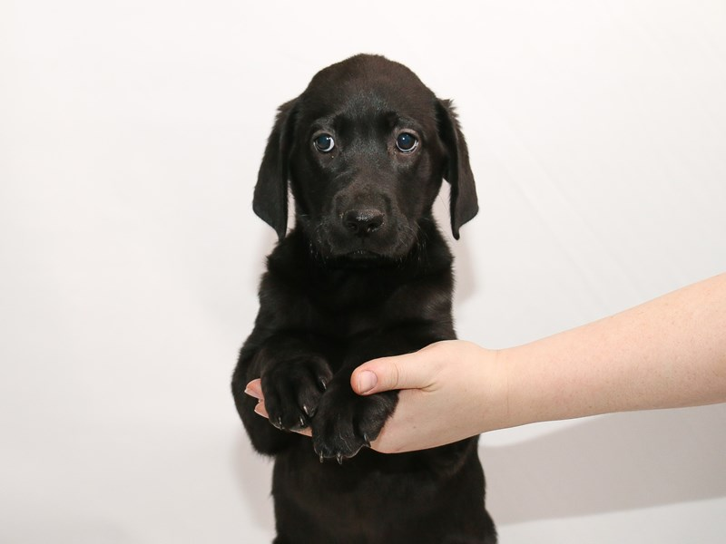 Labrador Retriever-Female-Black-3005166-My Next Puppy