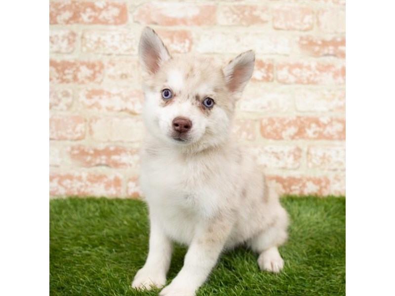 Pomsky-Female-Red Merle-3015351-My Next Puppy
