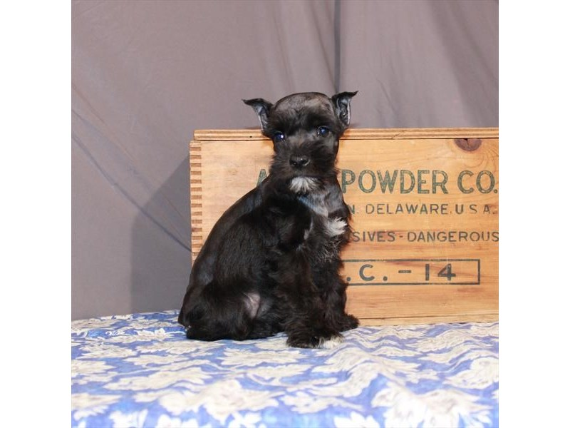 Miniature Schnauzer-Female-Black / Silver-3015354-My Next Puppy