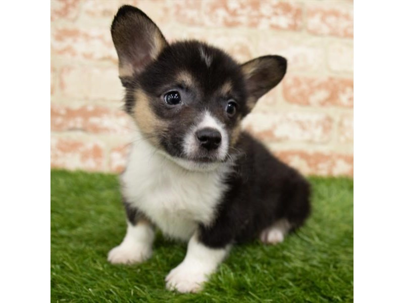 Pembroke Welsh Corgi-Male-Black-3015409-My Next Puppy
