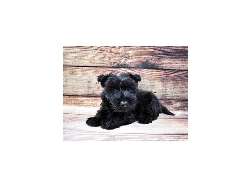 Scottish Terrier-Male-Black-3015956-My Next Puppy
