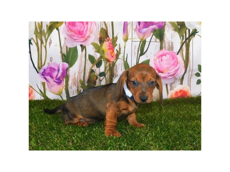 Dachshund-Female-Red Sable-3025366-My Next Puppy