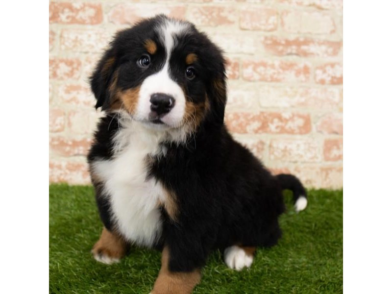 Bernese Mountain Dog-Male-Black / Rust-3025367-My Next Puppy