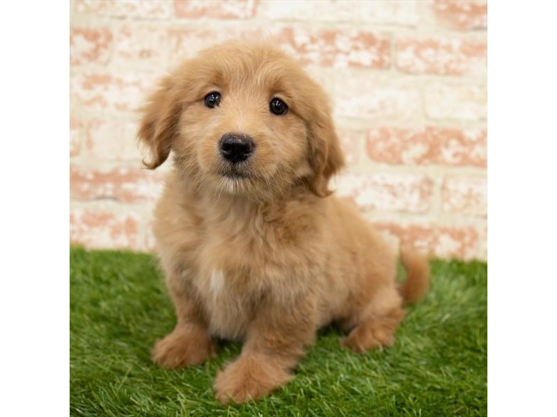 Goldendoodle Mini-Female-Apricot-3025368-My Next Puppy