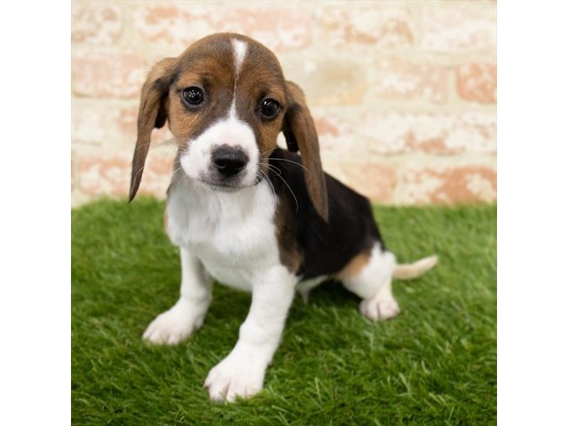 Beagle-Male-Black White / Tan-3025369-My Next Puppy