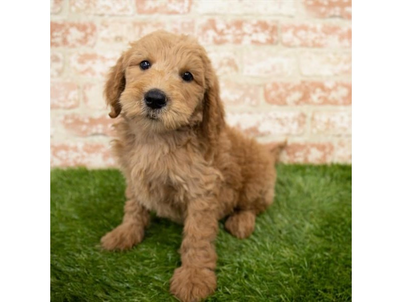 Goldendoodle-Male-Red-3025371-My Next Puppy