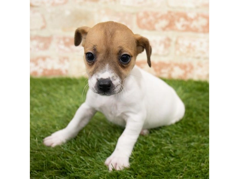 Jack Russell Terrier-Female-White-3025393-My Next Puppy