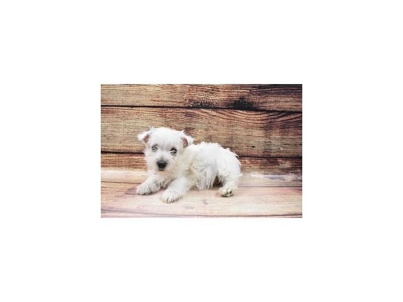 West Highland White Terrier-Male-White-3026761-My Next Puppy