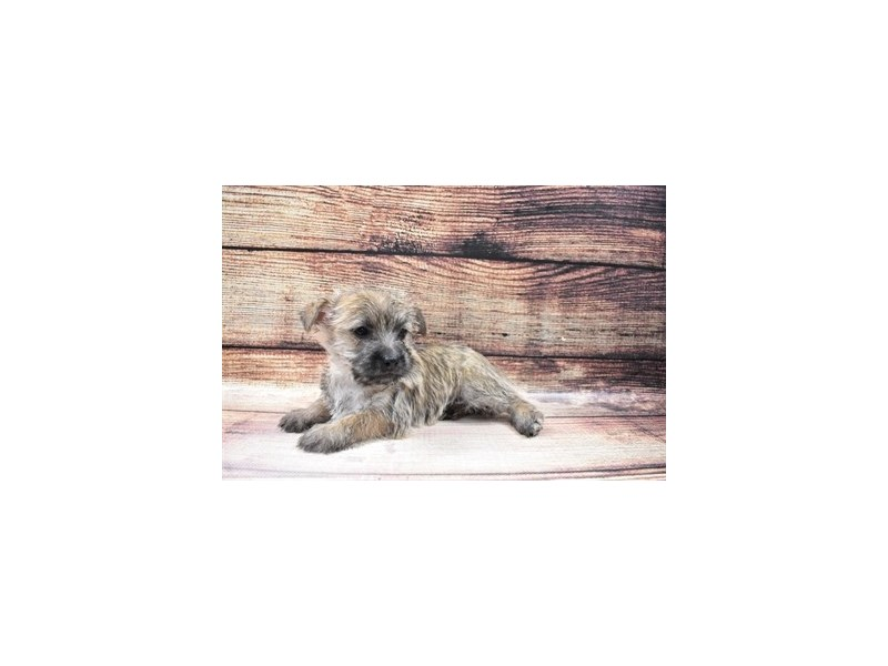 Cairn Terrier-Female-Wheaten-3026873-My Next Puppy