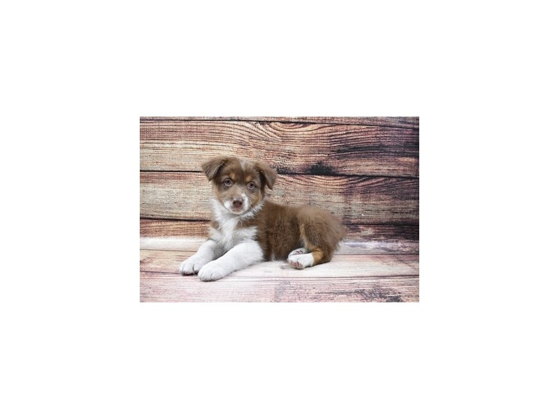 Australian Shepherd-Female-Red-3026927-My Next Puppy