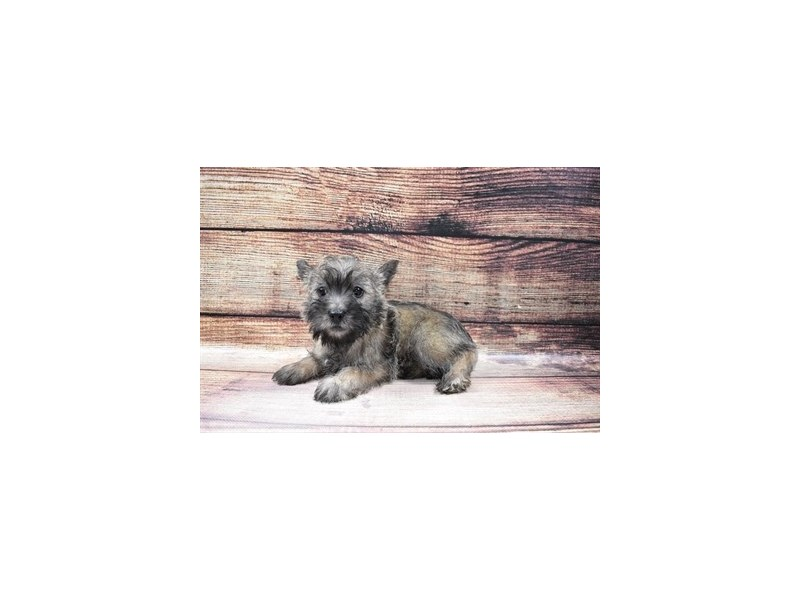 Cairn Terrier-Female-Wheaten-3026937-My Next Puppy