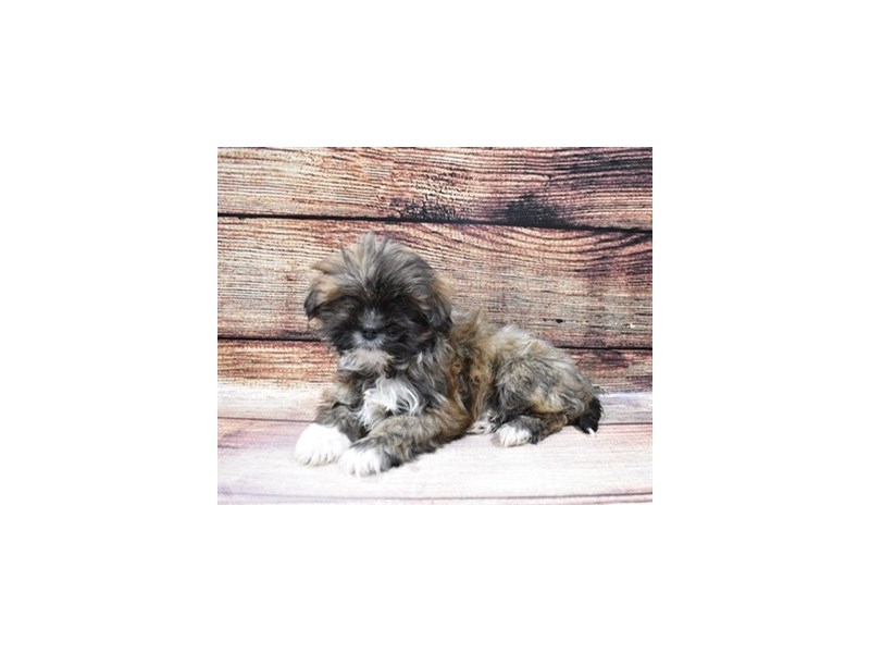 Lhasa Apso-Female-Golden-3026948-My Next Puppy