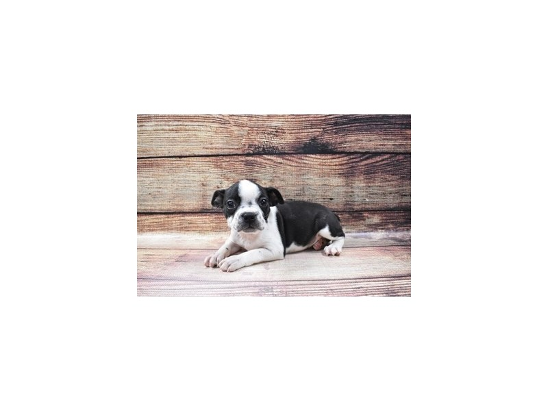 Boston Terrier-Female-Black Brindle and White-3036143-My Next Puppy