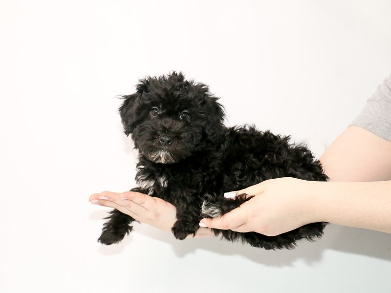 Mini Whoodle-Female-Black-3035359-My Next Puppy