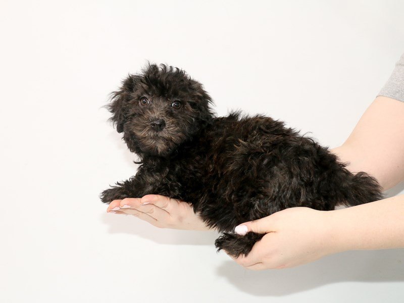Mini Whoodle-Female-Black-3035356-My Next Puppy