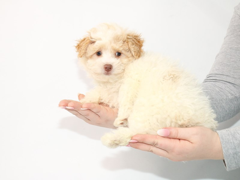 Miniature Poodle-Female-Apricot-3044957-My Next Puppy