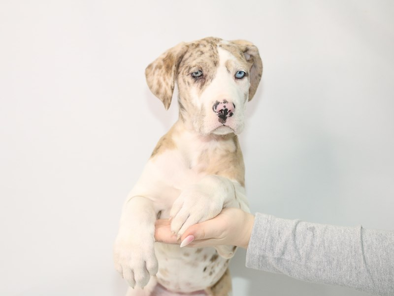 Great Dane-Female-Red-3044963-My Next Puppy