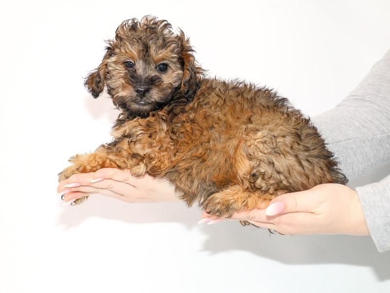 Miniature Poodle-Male-Cafe Au Lait-3044965-My Next Puppy