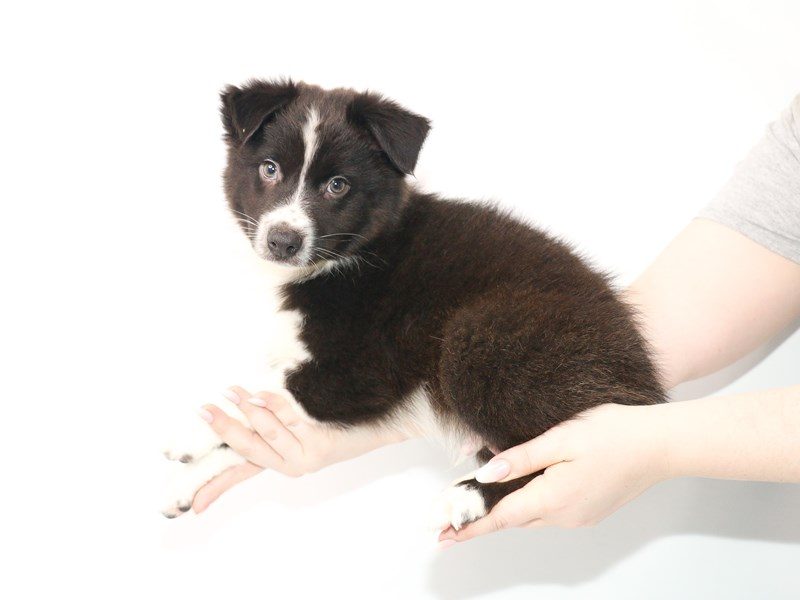 Australian Shepherd-Male-Black and White-3056679-My Next Puppy