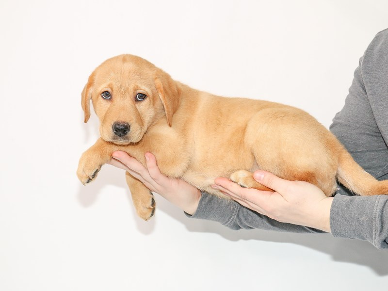Labrador Retriever-Female-Yellow-2980382-My Next Puppy