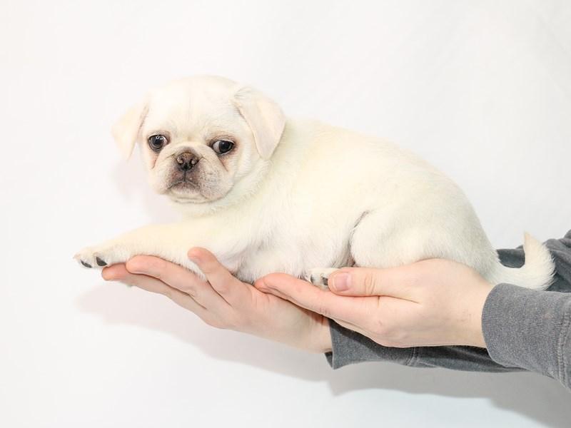 Pug-Female-Silver Fawn-2989510-My Next Puppy