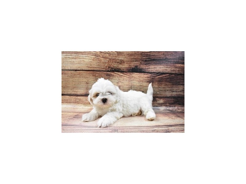 Lhasa Apso-Male-Red Gold-2998035-My Next Puppy