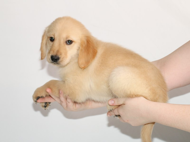 Golden Retriever-Female-Golden-3005154-My Next Puppy