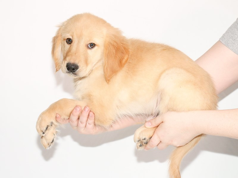 Golden Retriever-Male-Golden-3005156-My Next Puppy