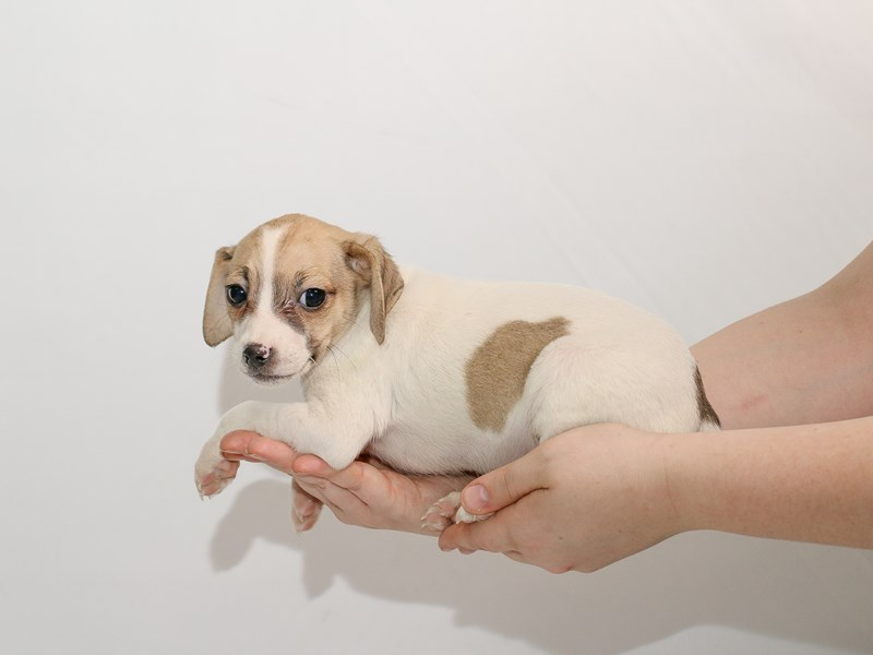 Jack Russell Terrier-Male-White-3005161-My Next Puppy