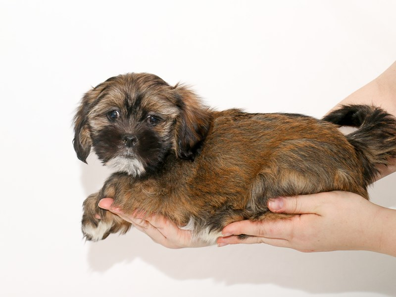 Lhasa Apso-Male-Grizzle-3005845-My Next Puppy