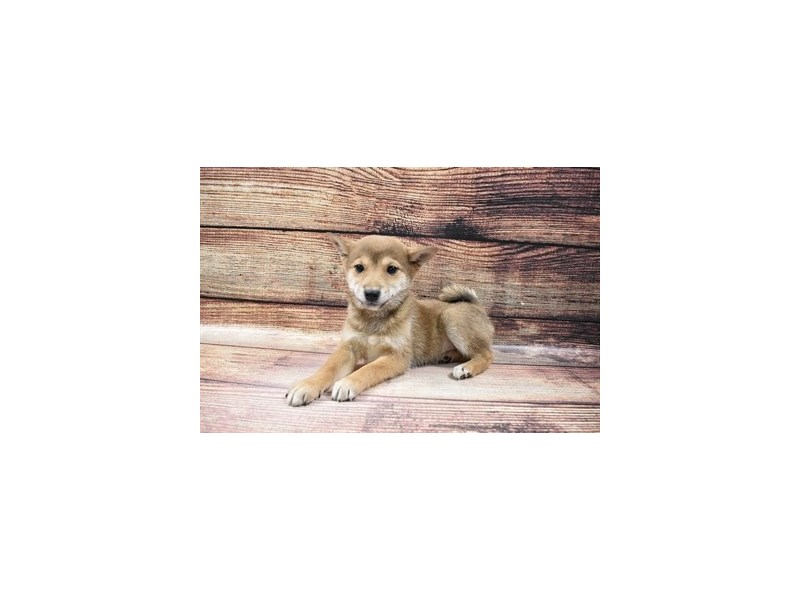 Shiba Inu-Female-Red Sesame-3016077-My Next Puppy