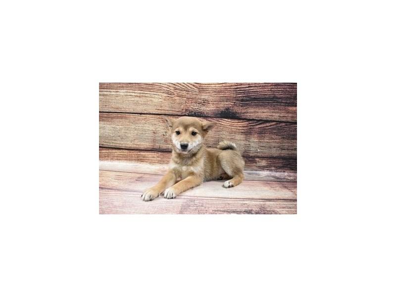 Shiba Inu-Female-Red Sesame-3016077-My Next Puppy