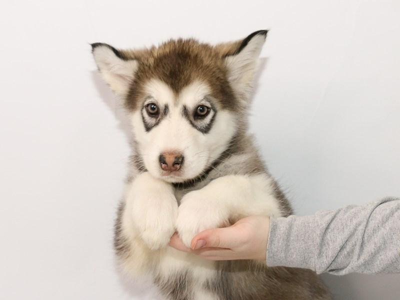 Alaskan Malamute-Female-Gray / White-3015348-My Next Puppy