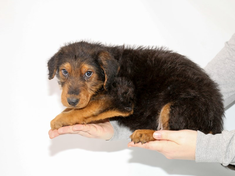 Airedale Terrier-Male-Black / Tan-3015414-My Next Puppy