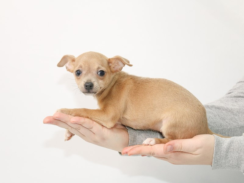 Chihuahua-Female-Blue Fawn-3016011-My Next Puppy