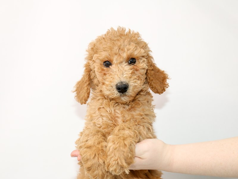 Goldendoodle-Female-Red-3025370-My Next Puppy