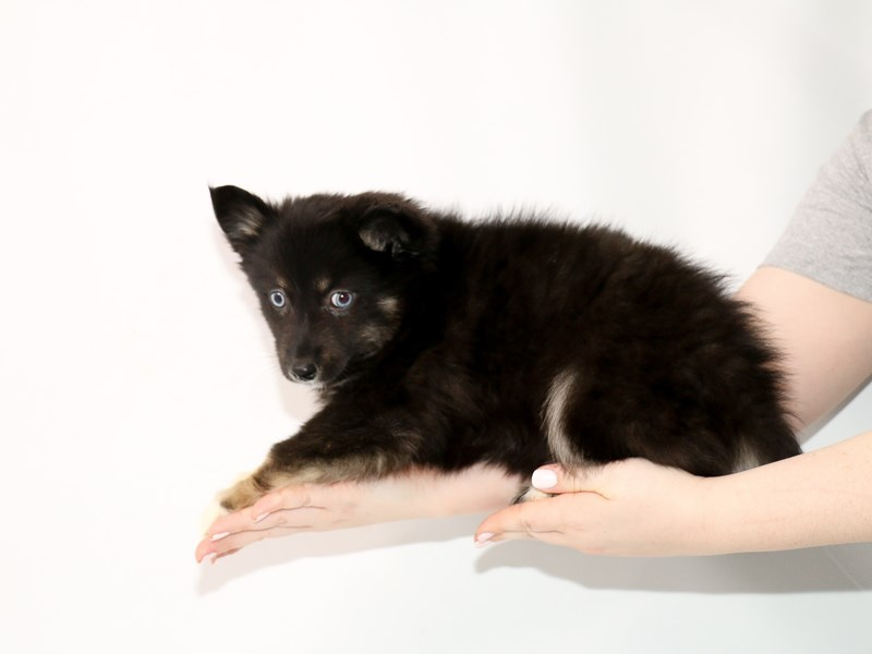 Pomsky-Female-Black-3035344-My Next Puppy