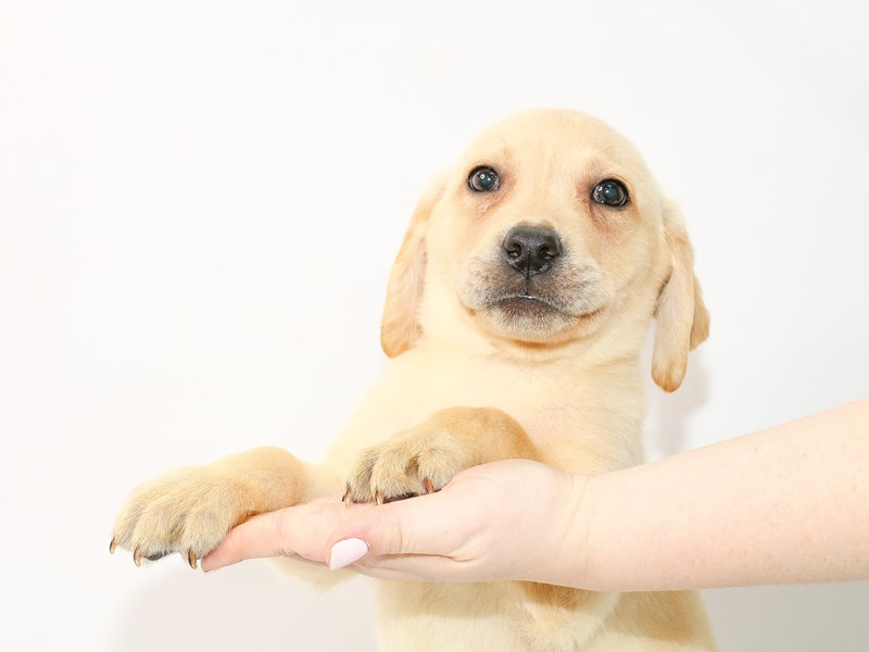 Labrador Retriever-Male-Yellow-3035347-My Next Puppy