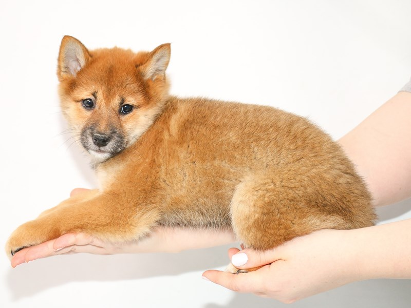 Shiba Inu-Female-Red Sesame-3035350-My Next Puppy