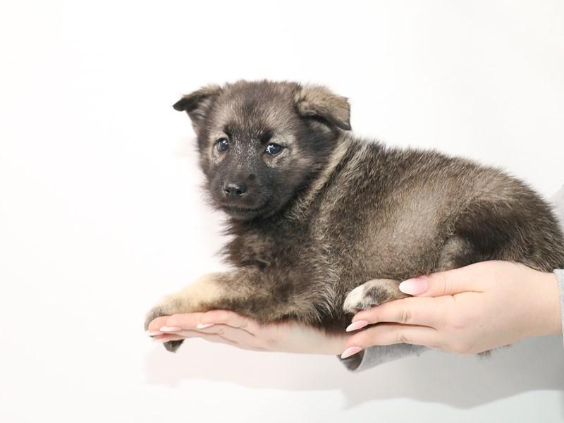 Norwegian Elkhound-Female-Gray / Black-3044944-My Next Puppy