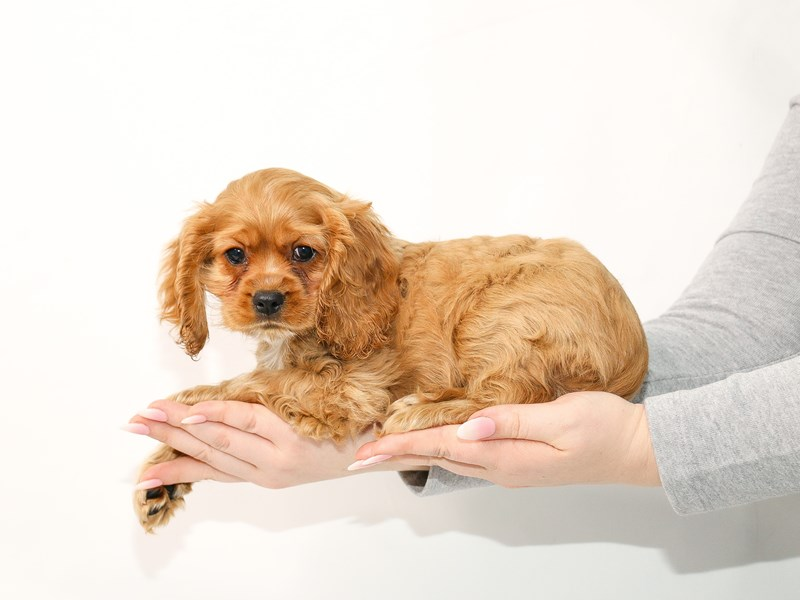 Cockalier-Male-Ruby-3044947-My Next Puppy