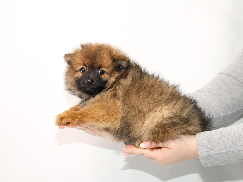 Pomeranian-Male-Orange Sable-3044948-My Next Puppy
