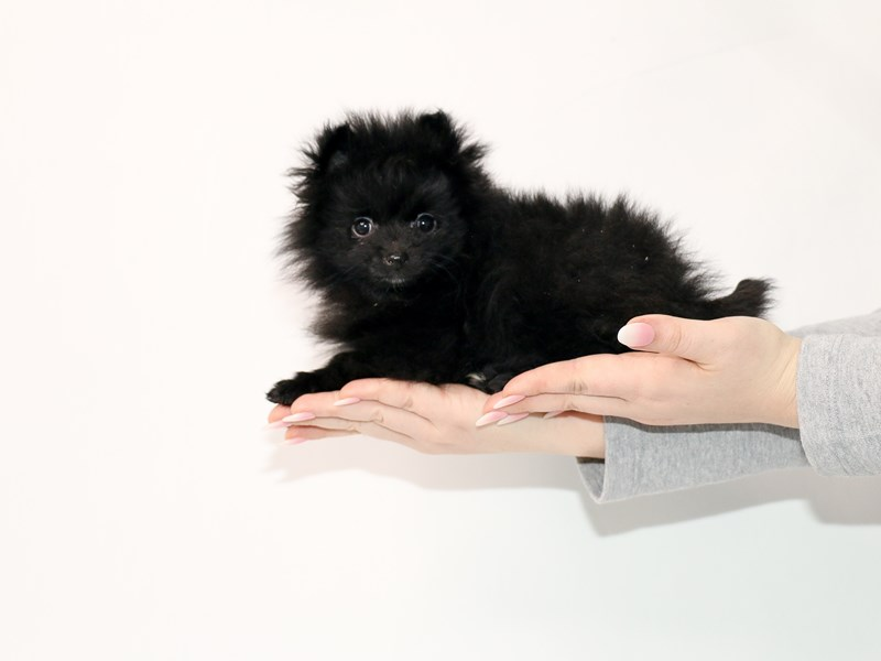 Pomeranian-Female-Black-3044950-My Next Puppy