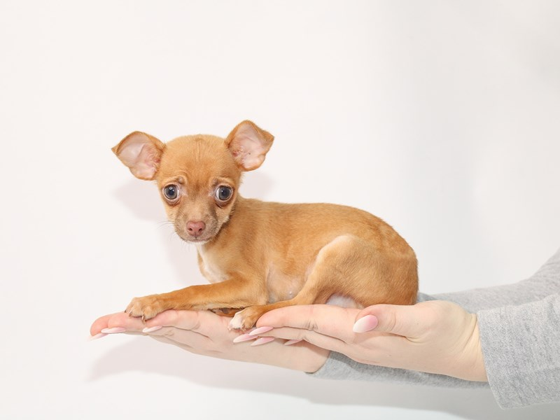 Chihuahua-Male-Red-3044960-My Next Puppy