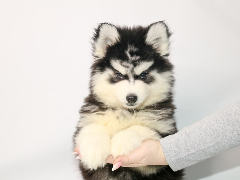 Pomsky-Male-Black / White-3044962-My Next Puppy