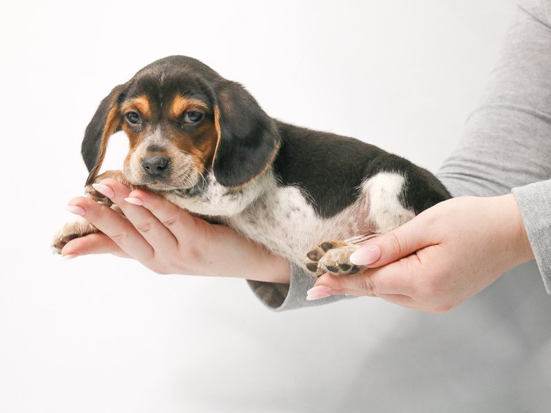 Beagle-Male-Black White / Tan-3044964-My Next Puppy